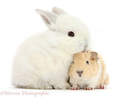 Baby White bunny with Guinea pig