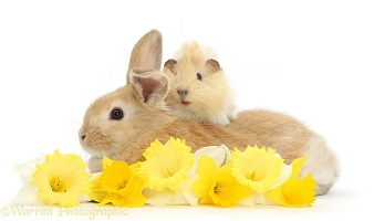 Young rabbit and Guinea pig with daffodils