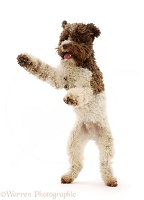 Lagotto Romagnolo jumping up