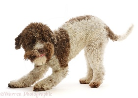 Lagotto Romagnolo in play bow