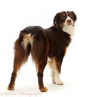 Red tricolour Mini American Shepherd