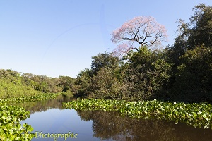 Vegetation along the Miranda River, Pantanal area of Brazil