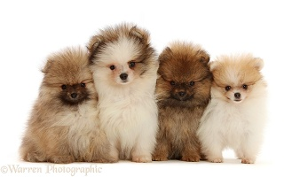 Four Pomeranian puppies in a row