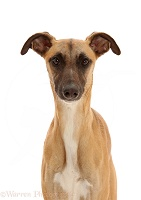 Whippet Lurcher dog, 1 year old, portrait