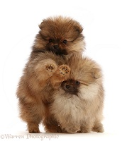 Two Pomeranian puppies