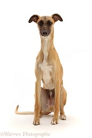 Whippet Lurcher dog, 1 year old, sitting