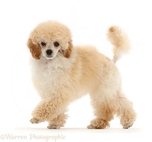 Toy Poodle puppy, 13 weeks old, walking across