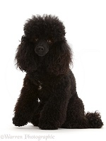 Black Toy Poodle, 3 years old