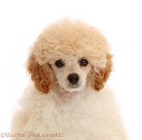 Toy Poodle puppy, 13 weeks old