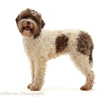 Lagotto Romagnolo bitch, 3 years old, standing