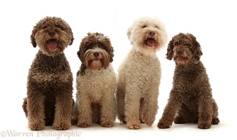 Four Lagotto Romagnolos sitting in a row