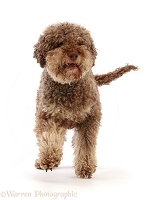 Lagotto Romagnolo dog, 7 years old, walking