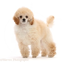 Toy Poodle puppy, 13 weeks old, standing