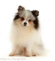 Black-and-white Pomeranian
