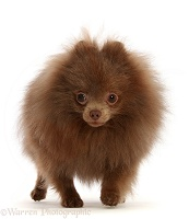 Brown Pomeranian walking