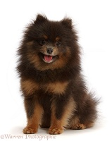 Black-and-tan Pomeranian sitting