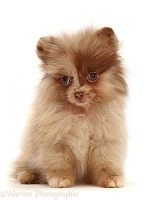 Chocolate-and-cream Pomeranian puppy