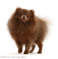Brown Pomeranian standing