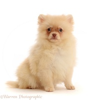 Cream Pomeranian sitting