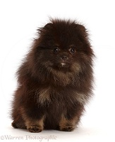 Black Pomeranian puppy sitting