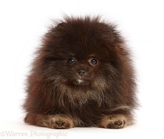 Black Pomeranian lying head up