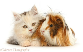 Persian kitten and Guinea pig