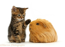 Tabby kitten, 7 weeks old, and Guinea pig