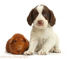 English Springer Spaniel puppy and Guinea pig
