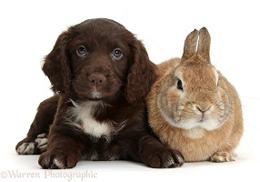 Chocolate Cocker Spaniel puppy and rabbit