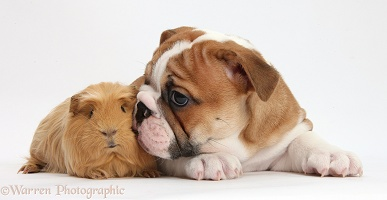 Bulldog puppy and ginger Guinea pig