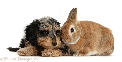 Cute Daxiedoodle puppy and rabbit