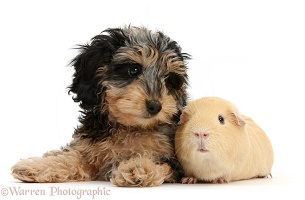 Cute Daxiedoodle puppy and yellow Guinea pig