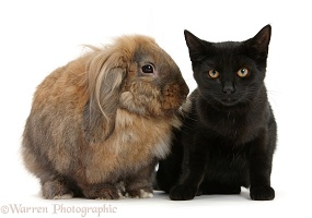 Black cat and Lionhead-cross rabbit