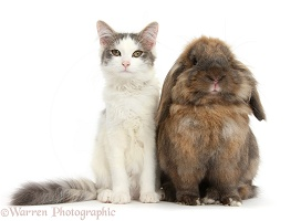 Silver-and-white female cat and Lionhead-cross rabbit