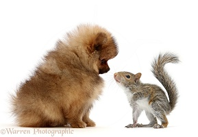 Young Grey Squirrel and Pomeranian puppy