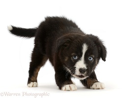 Playful Mini American Shepherd puppy, 7 weeks old