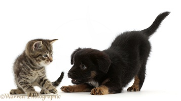 Small tabby kitten and playful Mini American Shepard puppy