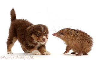 Playful Pomeranian puppy and Tailless Tenrec