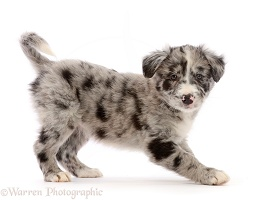 Merle Border Collie puppy, standing