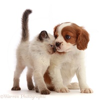 Cavalier puppy, head-to-head with playful kitten