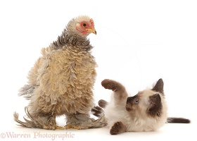 Cream Frizzle Bantam, chicken and kitten