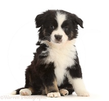 Black-and-white Mini American Shepherd puppy, 7 weeks old