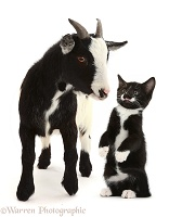 Pygmy goat and Black-and-white kitten