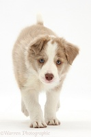 Lilac Border Collie pup running