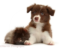 Chocolate Border Collie pup and shaggy Guinea pig
