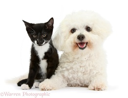 Bichon Frise and black-and-white kitten