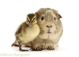Guinea pig and Mallard duckling