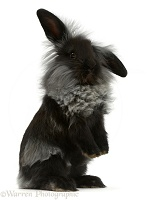 Black Lionhead rabbit standing up