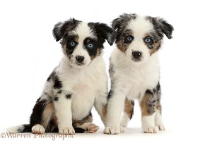 Two Mini American Shepherd puppies, 7 weeks old
