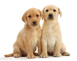 Two cute Yellow Labrador puppies sitting together